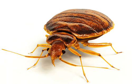 Bed Bugs Control Hays, KS
