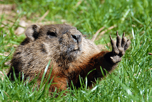 Groundhog Removal Simpsonville, SC