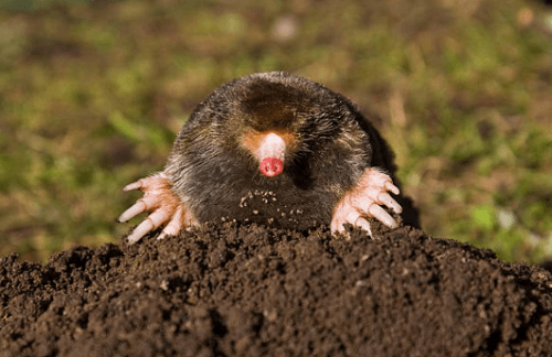 Mole Control Valley, AL