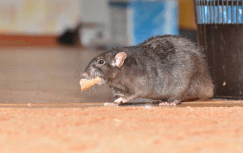 Rat Control Pell City, AL