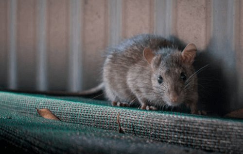 Rodent Control Apache Junction, AZ