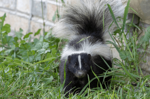 Skunk Removal Chickasha, OK