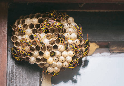 Wasp Nest Removal Derby, KS